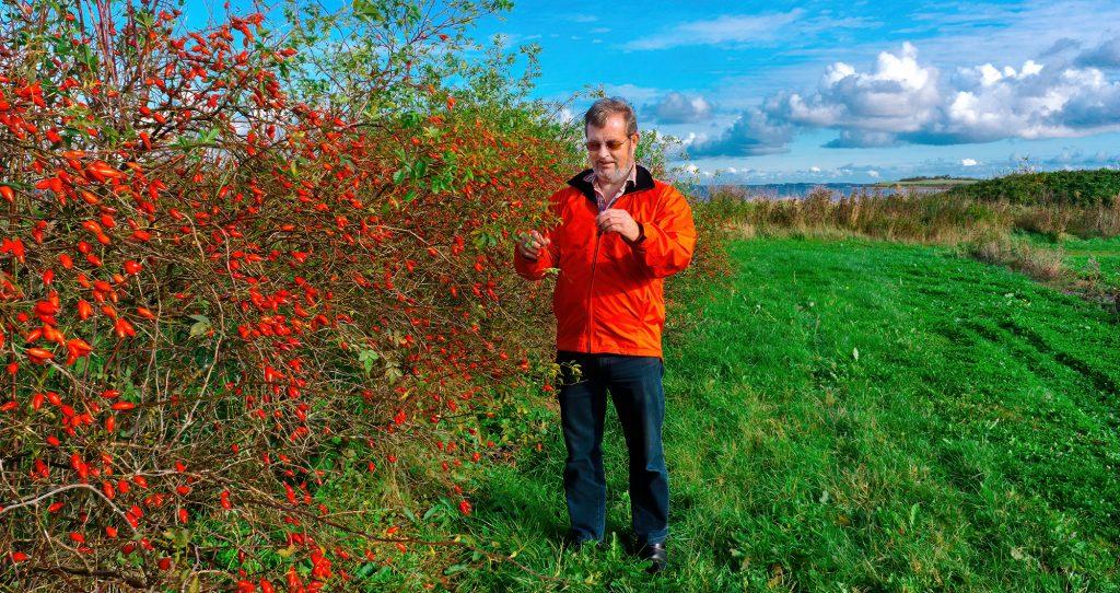 Torbjorn Hansen prüft seine Lito Hagebutten, bevor er sie zur Ernte freigibt.